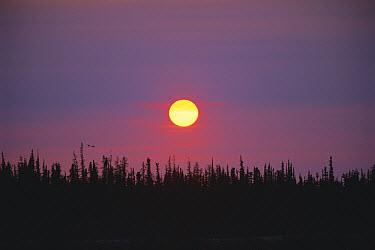 Boreal Forest silhouetted at sunset, Hudson Bay, Churchill, Manitoba, Canada  -  Tim Martin/ npl