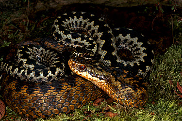 Common European Adder (Vipera berus) male guarding female (brown) from other males during breeding season, Dorset heathland, United Kingdom  -  Tony Phelps/ npl
