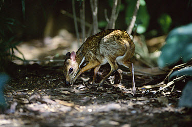 Lesser Malay Mouse Deer (Tragulus javanicus) in understory, native to Asia  -  Anup Shah/ npl