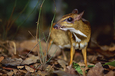 Lesser Malay Mouse Deer (Tragulus javanicus) individual in forest understory, native to Asia  -  Anup Shah/ npl