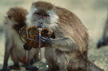 Long-tailed Macaque (Macaca fascicularis) eating Mangrove Horseshoe Crab (Carcinoscorpius rotundicauda), Sumatran Coast, Indonesia  -  Anup Shah/ npl