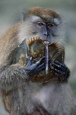 Long-tailed Macaque (Macaca fascicularis) juvenile eating Mangrove Horseshoe Crab (Carcinoscorpius rotundicauda), Sumatran Coast, Indonesia  -  Anup Shah/ npl