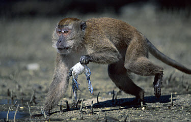 Long-tailed Macaque (Macaca fascicularis) carrying captured crab in Mangrove tidal flats, Sumatran Coast, Indonesia  -  Anup Shah/ npl