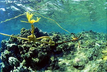 Ship's anchor damaging coral reef at one meter depth, Red Sea  -  Dan Burton/ npl