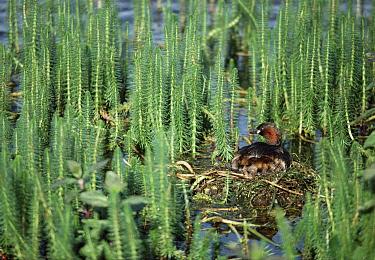 Little Grebe (Tachybaptus ruficollis) parent incubating eggs on nest, Norfolk, United Kingdom  -  Martin H Smith/ npl
