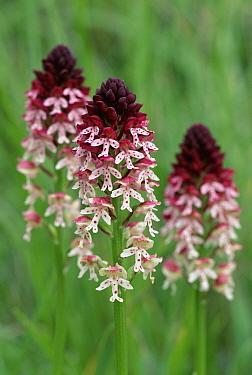 Burnt Orchid (Neotinea ustulata) trio, Alps, Italy  -  Elio Della Ferrera/ npl
