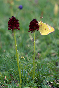 Mountain Clouded Yellow (Colias phicomone) butterfly feeding on Black vanilla orchid (Nigritella nigra), Alps, Italy  -  Elio Della Ferrera/ npl