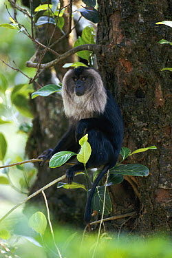 Lion-tailed Macaque (Macaca silenus) dominant male sitting in tree, Western Ghats, Kerala, India  -  Elio Della Ferrera/ npl