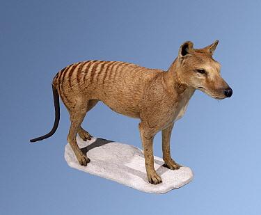 Tasmanian Tiger (Thylacinus cynocephalus) taxidermied skeleton, became extinct in 1936, native to Australia  -  Bristol City Museum/ npl