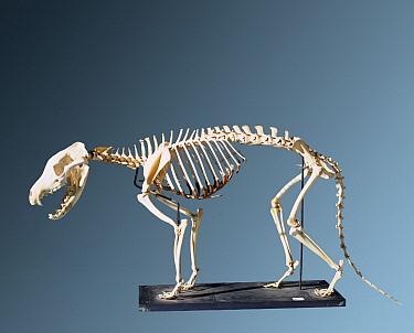 Tasmanian Tiger (Thylacinus cynocephalus) skeleton, became extinct in 1936, native to Australia  -  Bristol City Museum/ npl