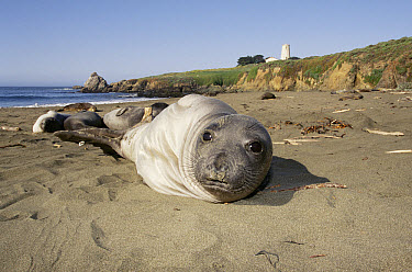 Northern Elephant Seal (Mirounga angustirostris) four-month-old pup reclining, Point Piedras Blancas, California  -  Todd Pusser/ npl