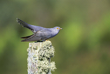 Common Cuckoo (Cuculus canorus) male in threat posture, South Uist, Scotland  -  Pete Cairns/ npl