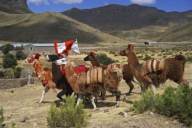 Llama (Lama glama) race, Callalli, Colca Valley, Peru  -  Karen Bass/ npl