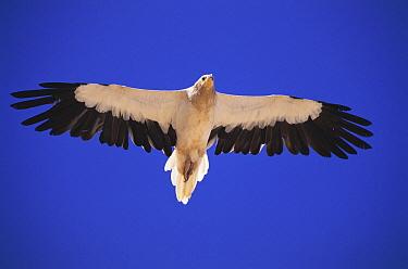 Egyptian Vulture (Neophron percnopterus) adult soaring, Sunub, Oman  -  Hanne & Jens Eriksen/ npl