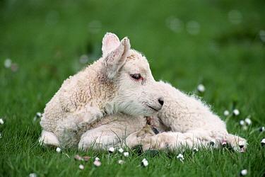 Domestic Sheep (Ovis aries) shetland lamb, Shetland Island, Scotland  -  Colin Seddon/ npl