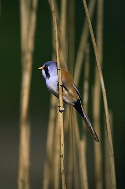 Bearded Tit (Panurus biarmicus) perched on a reed, Norfolk, United Kingdom  -  Terry Andrewartha/ npl