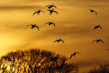 Pink-footed Goose (Anser brachyrhynchus) flock landing at dawn, Norfolk, United Kingdom  -  Terry Andrewartha/ npl