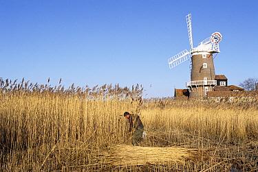 Man cutting reeds for thatch, Cley, Norfolk, United Kingdom  -  Terry Andrewartha/ npl