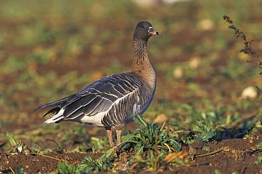 Pink-footed Goose (Anser brachyrhynchus) in sugar beet field, United Kingdom  -  Terry Andrewartha/ npl