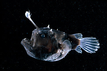 Anglerfish (Lophiiformes) with lure projecting from head to attract prey, Atlantic Ocean  -  David Shale/ npl