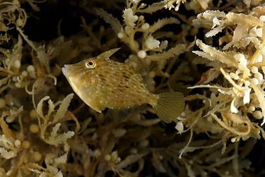Triggerfish (Balistidae) living amongst Sargassum Weed (Sargassum sp), Atlantic Ocean  -  David Shale/ npl