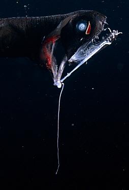 Loosejaw (Aristostomias sp) with lure, Atlantic Ocean  -  David Shale/ npl
