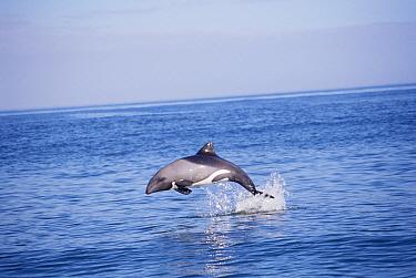 Heaviside's Dolphin (Cephalorhynchus heavisidii) leaping, Britannia Bay, South Africa  -  Todd Pusser/ npl