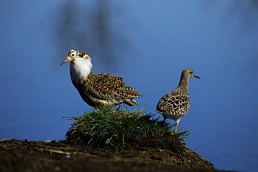 Ruff (Philomachus pugnax) male (left) in breeding plumage with female, Sweden  -  Bengt Lundberg/ npl