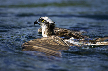Osprey (Pandion haliaetus) in water after dive, United Kingdom  -  Terry Andrewartha/ npl