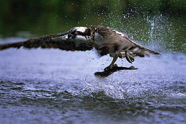 Osprey (Pandion haliaetus) catching fish, United Kingdom  -  Terry Andrewartha/ npl