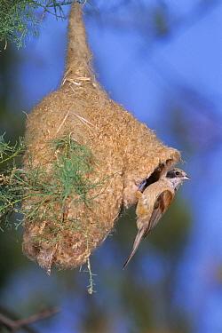 Eurasian Penduline-Tit (Remiz pendulinus) at nest entrance, Spain  -  Jose Luis Gomez De Francisco/ np