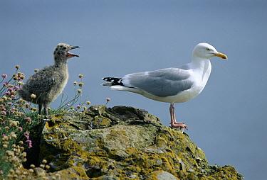 Herring Gull (Larus argentatus) parent with begging chick, Spain  -  Jose Luis Gomez De Francisco/ np