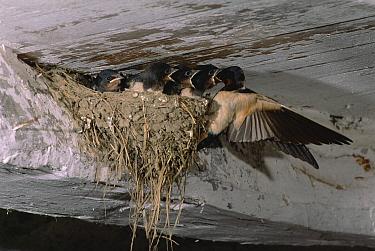 Barn Swallow (Hirundo rustica) parent feeding chicks at nest in barn, Spain  -  Jose Luis Gomez De Francisco/ np