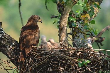 Black Kite (Milvus migrans) parent at nest with chicks, Spain  -  Jose Luis Gomez De Francisco/ np