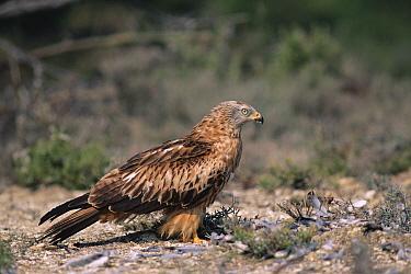 Black Kite (Milvus migrans) on ground near kill, Spain  -  Jose Luis Gomez De Francisco/ np