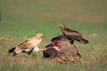 Egyptian Vulture (Neophron percnopterus) and Black Kite (Milvus migrans) feeding on carcass, Spain  -  Jose Luis Gomez De Francisco/ np