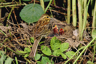 Cirl Bunting (Emberiza cirlus) female at nest with begging chicks, Spain  -  Jose Luis Gomez De Francisco/ np