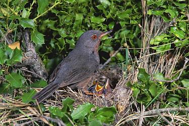 Subalpine Warbler (Sylvia cantillans) female at nest with begging chicks, Spain  -  Jose Luis Gomez De Francisco/ np