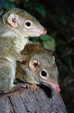 Common Tree Shrew (Tupaia glis) captive pair, native to southeast Asia  -  Rod Williams/ npl