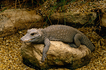 African Dwarf Crocodile (Osteolaemus tetraspis) resting on rock, Africa  -  David Kjaer/ npl