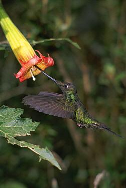 Sword-billed Hummingbird (Ensifera ensifera) feeding from Datura flower, Andes Mountains, Ecuador  -  Jim Clare/ npl