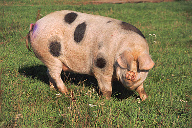 Domestic Pig (Sus scrofa domesticus) Gloucester Old Spot breed, note ears cover eyes, United Kingdom  -  Dan Burton/ npl