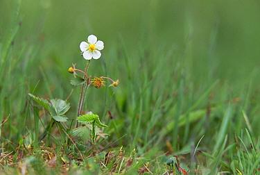 Woodland Strawberry (Fragaria vesca) flowering, Derbyshire Dales, United Kingdom  -  Geoff Simpson/ npl
