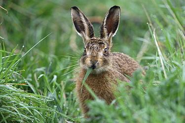 European Hare (Lepus europaeus) eating grass, Breckland, Norfolk, United Kingdom  -  Terry Andrewartha/ npl