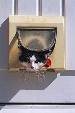 Domestic Cat (Felis catus) leaving house through cat door, Sweden  -  Bengt Lundberg/ npl