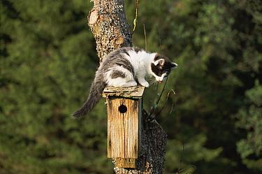 Domestic Cat (Felis catus) kitten sitting on nestbox of Great Tit (Parus major), Sweden  -  Bengt Lundberg/ npl