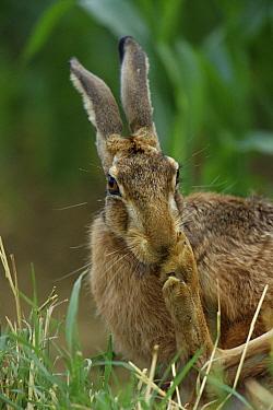 European Hare (Lepus europaeus) grooming, Germany  -  Torsten Brehm/ npl