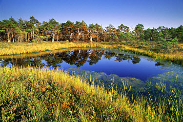 Pine (Pinus sp) trees, bog, heather and reeds, Kemeri National Park, Latvia  -  Niall Benvie/ npl