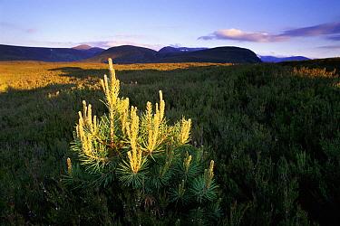 Scotch Pine (Pinus sylvestris) natural regeneration amongst heather, Abernethy RSPB Reserve, Scotland  -  Niall Benvie/ npl