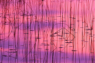 Water and autumn reed reflections, Michigan  -  Larry Michael/ npl